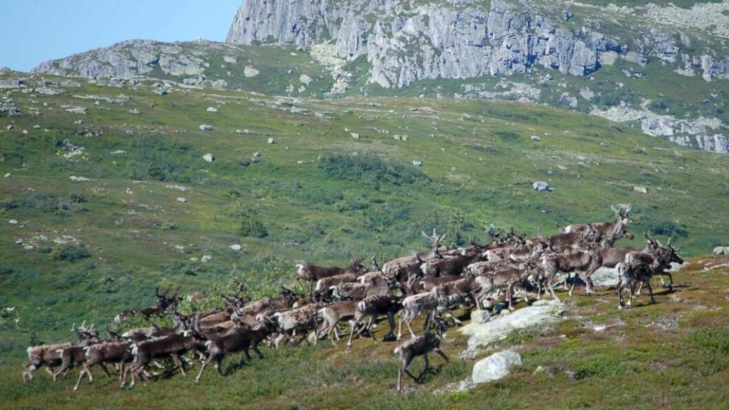 ALVORLEG: At CWD har brote ut på akkurat reinsdyr som lever i flokk kan vera spesielt alvorleg i høve omfanget av sjukdommen. Illustrasjonsfoto
