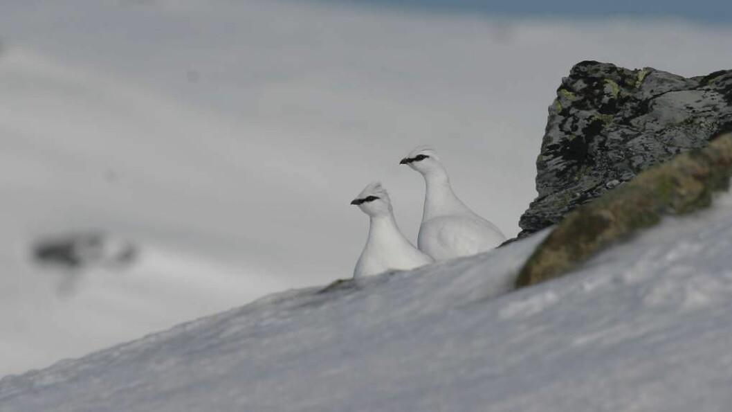 NEDGANG: Etter to år med oppgang gjekk talet på felte ryper ned i jaktåret 2015/2016. Berre i dei to nordlegaste fylka var det auke.Foto: Jim Timås Kristensen.