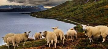 Fleire sauebønder – mindre rovdyrerstatning