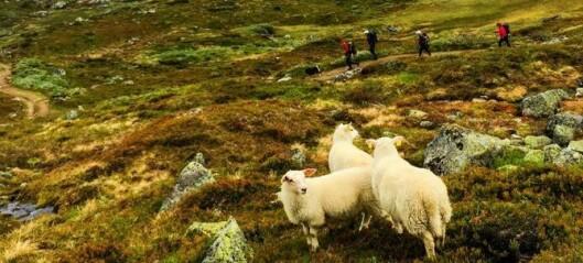 Høgt tap av lam i Årdal