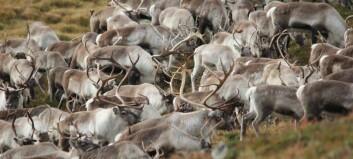 – Liten risiko for at menneske blir smitta av hjortesjukdom