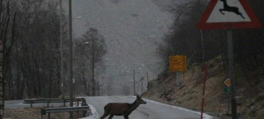 I Lærdal vert flest hjortevilt drepne i trafikken