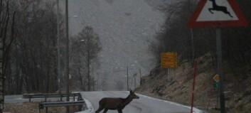 Køyrde på hjort i Lærdal