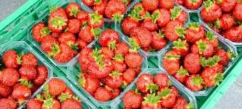 Satsar på jordbærplanter frå Nederland