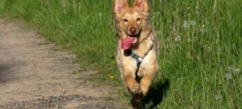 Hundesjukdomen: Mattilsynet opphevar råd om nærkontakt mellom hundar