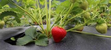 Her er dei første jordbæra