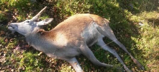 Rekordmange felte hjort under jakta i Årdal og Lærdal