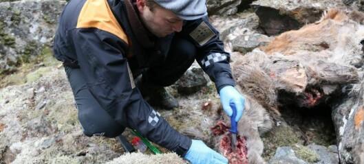 Mistanke om to nye tilfelle av skrantesjuke i Nordfjella