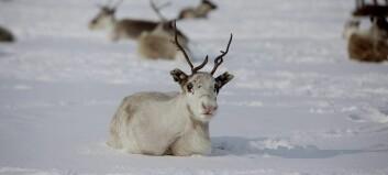 Utryddinga av villrein i Nordfjella har starta