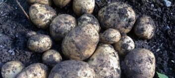 Ny haust for historiske poteter