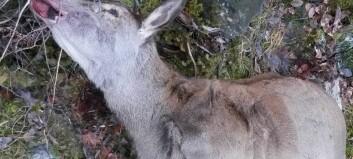 Funn av fleire døde hjortedyr som er påskotne