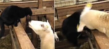 Katten tergar sauen – så skjer dette