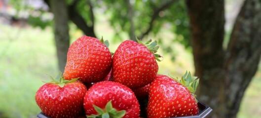 No er jordbærsesongen så smått i gang
