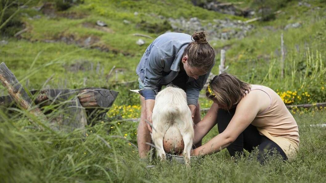 HANDMJØLKING: To gonger om dagen mjølkar elevane geitene ved Sinjarheim. Alle foto: Sogn jord- og hagebruksskule