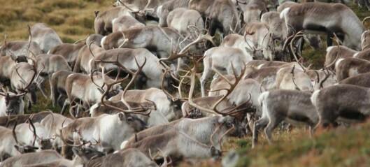 Massakre av villreinstamme i Nordfjella: Fornuftig – eller statsautorisert miljøkriminalitet?