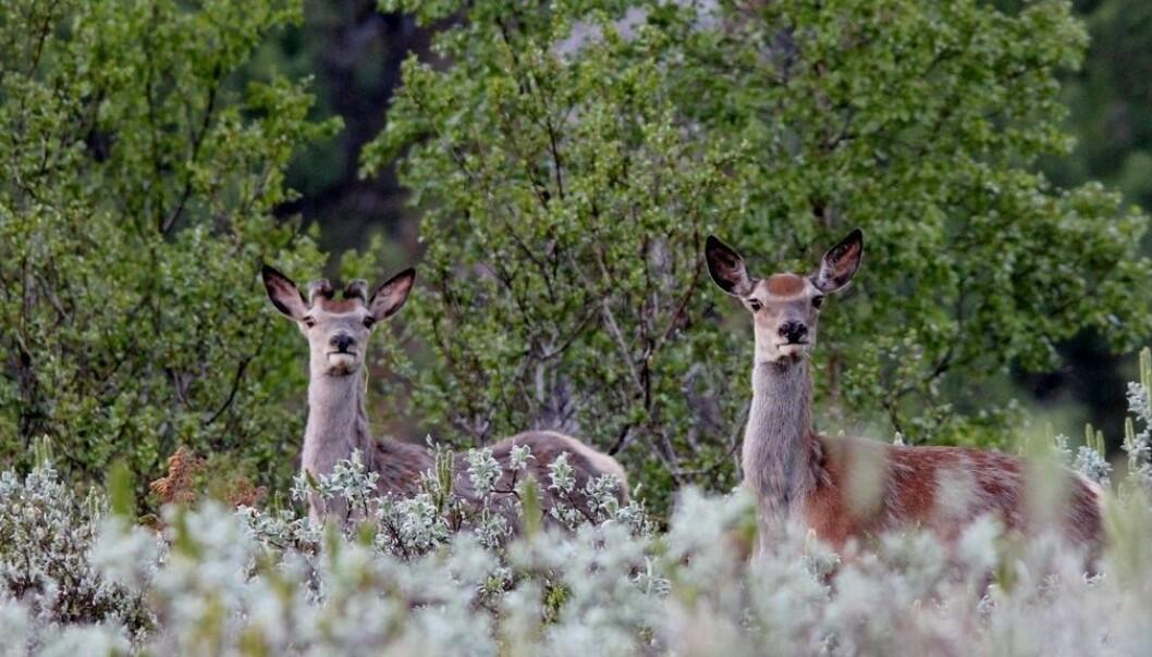REKORDJAKT: Aldri før har det blitt felt fleire hjort i Lærdal enn i år. Og enno står det att ein månad av jakta.