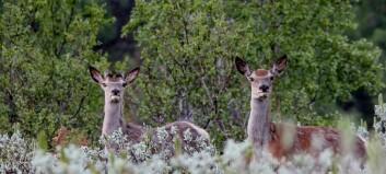 Difor er målet å skyta 700 hjort i Lærdal, nesten det doble av ein vanleg sesong