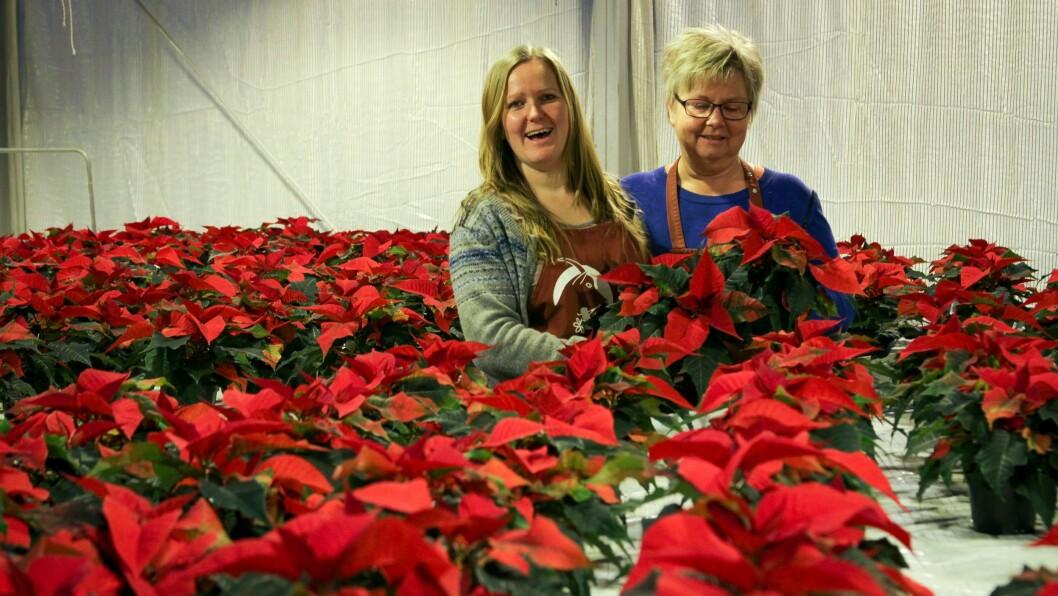 STJERNELAG: Ine Tvedt Kristiansen (til venstre) skjønar ikkje fleire gjer som dei og produserer julestjerna utan sprøytemiddel.