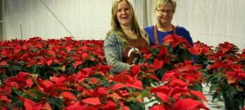 I Aurland lagar dei Norges einaste økologiske julestjerne