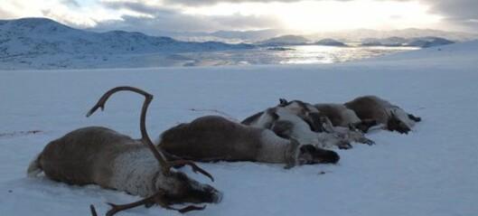 Trur dei har fjerna villreinflokken i det smitta området i Nordfjella
