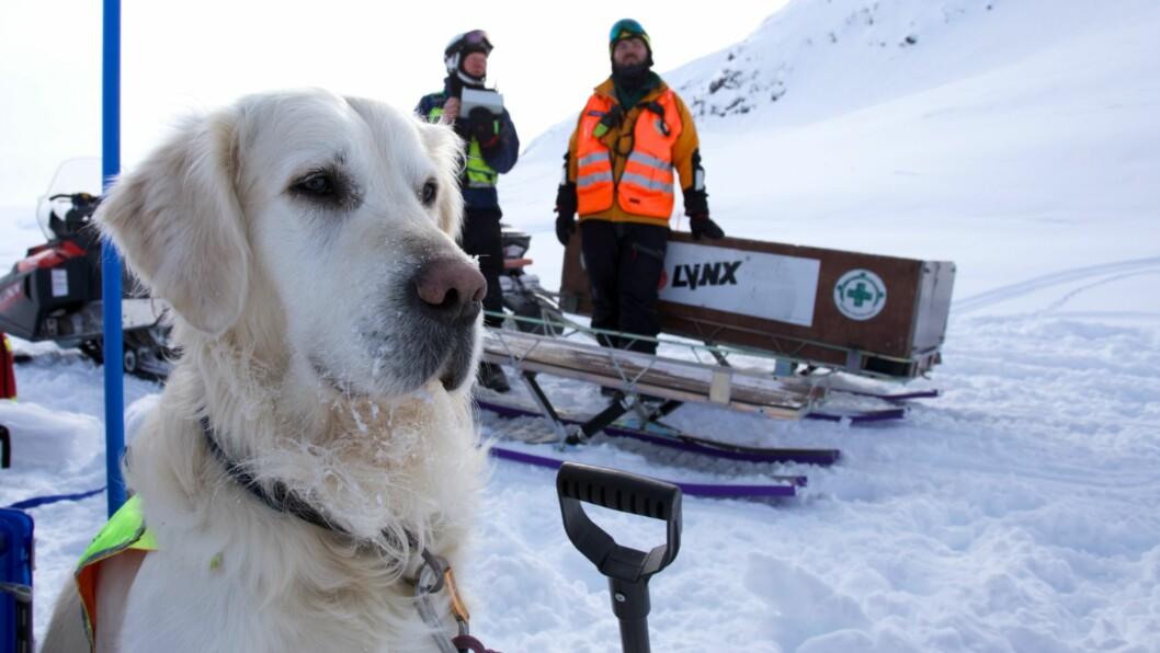 PÅ VAKT: Atlas (4) held framleis på med opplæring, men snart vert han ein ordentleg skredhund.