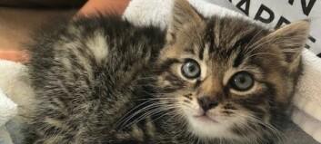 Oppmodar til sterilisering av katt etter at nær ihelsvolten kattunge blei redda