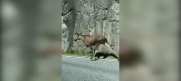 Filma elgar i full galopp på bilvegen
