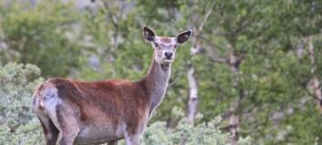 Veksande hjortebestand på Vestlandet – i Sogn er trenden ein annan