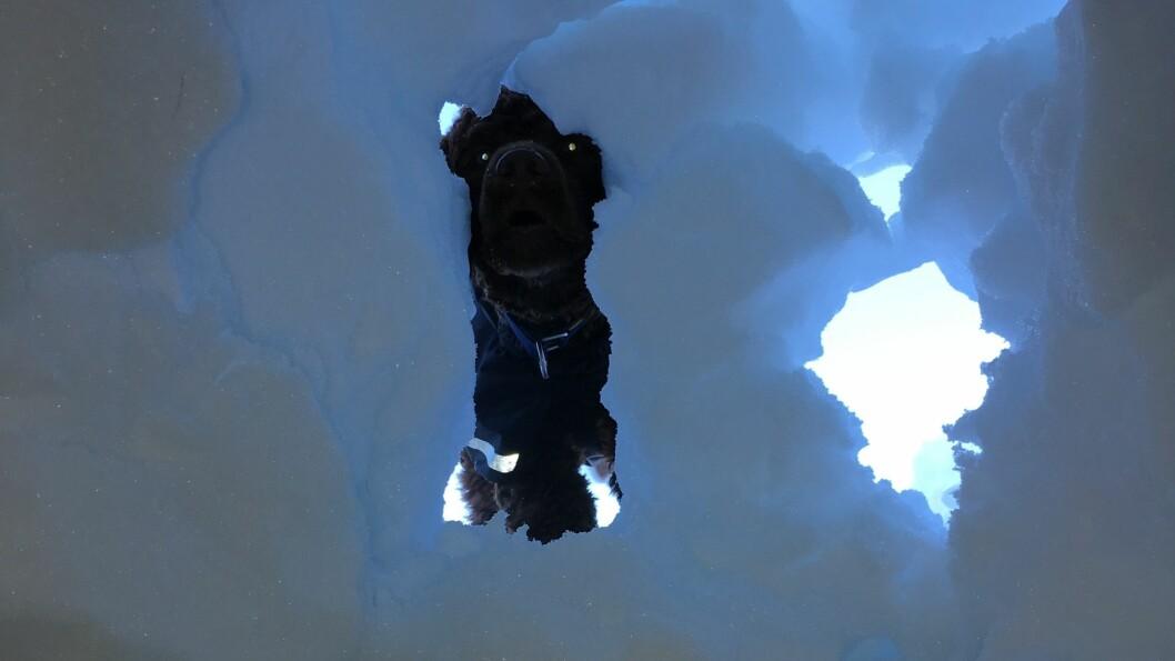 NYTTIG REISKAP: Hunden Månsen fekk i helga for første gong testa korleis det er å grava fram ein person frå snøen. Med si skarpe nase kan hundar vera til uvurderleg hjelp om ulukka skulle vera ute. Men først krevst det fleire år med trening.