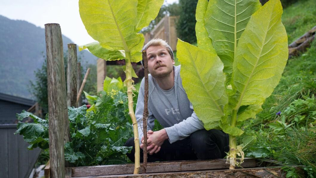 GRØDERIK HAUST: Tobakksplantene ser ut til å trivast i hagen til Torbjørn Selseng.