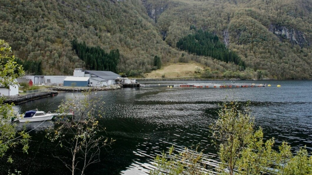 RØMMING: Førre måndag vart det oppdaga at tusenvis av laks hadde rømt frå ventemerdane hos Slakteriet Brekke AS i Instefjord.