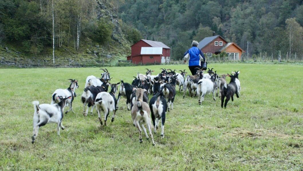 FØLGER PÅ: Anne Listou spring mot den usynlege grensa som geitene får støt av å kryssa. Når dyra høyrer pipinga frå klaven dei har rundt halsen stoppar dei.