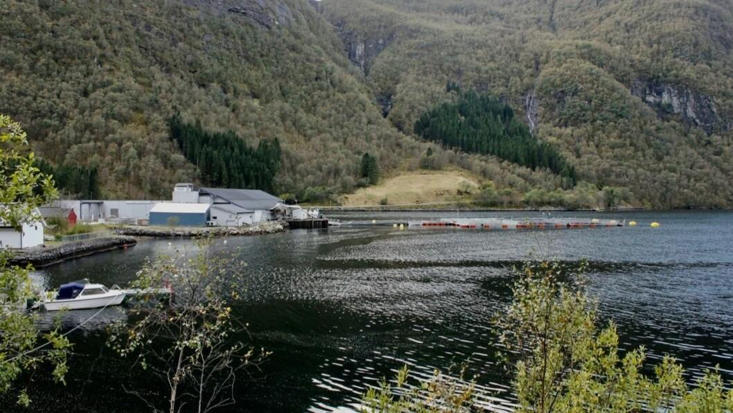 GJENFANGST: Slakteriet Brekke AS set no i gang organisert gjenfangst i Høyanger for å få opp fleire av laksane som rømde frå anlegget i midten av september.