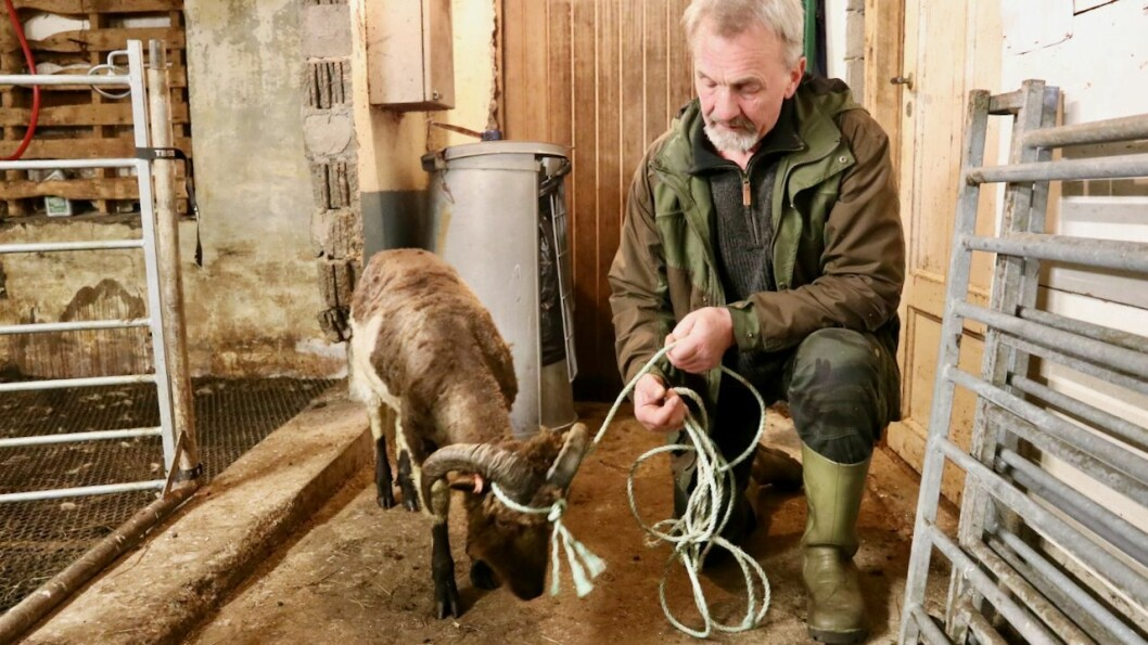 Lammet har truleg gått seg vill, eller kome bort frå dei andre i flokken. Her i lag med bonden Leif Brekken.