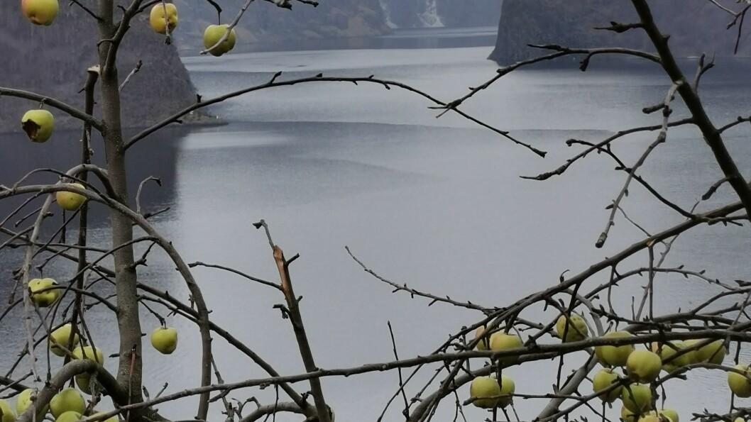 Liv Jorunn Vestrheim har ikkje sett så mange eple henge igjen på trea på denne tida av året før .