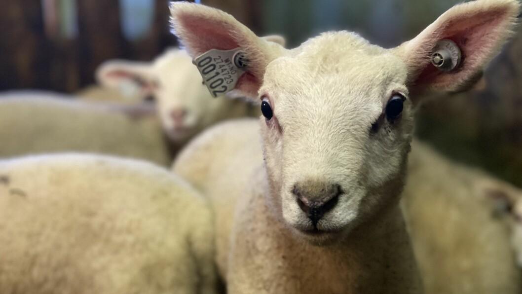 I FJØSEN: Ferske «lamsar» og sauer i Aamundsgarden.