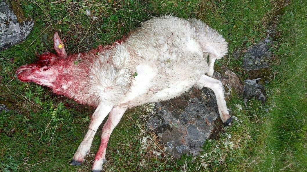 JERV: Statens naturoppsyn har stadfesta at der var ein jerv som tok livet av sauen.
