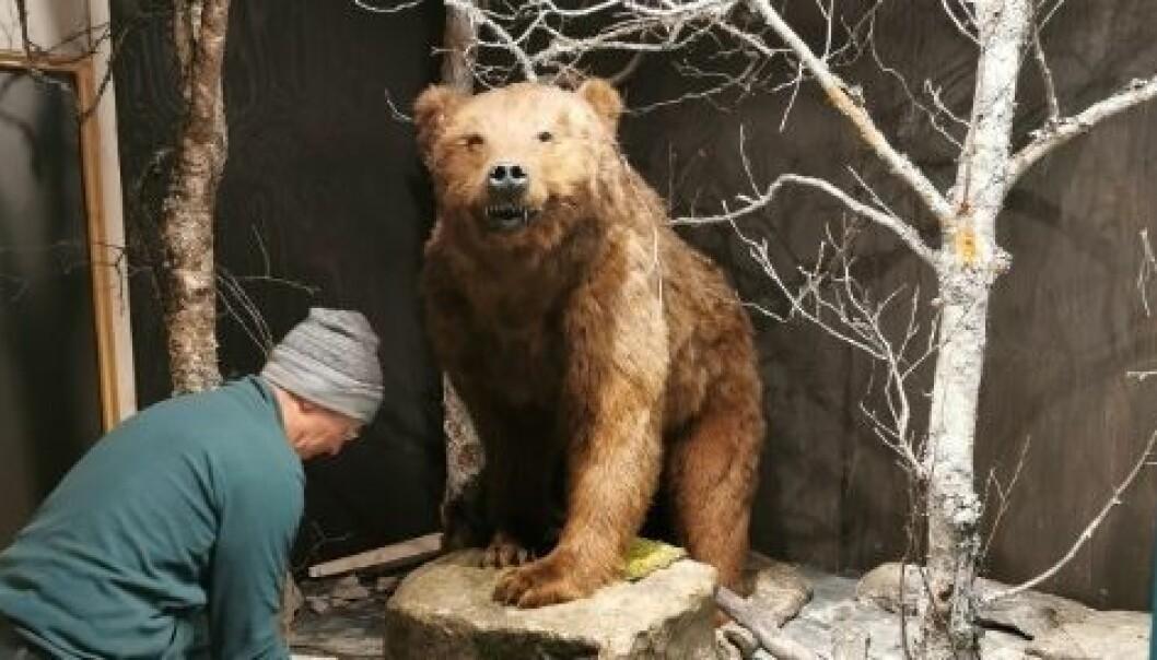 PÅ PLASS: Bjørnen er endeleg kommen heim til Jostedalen.