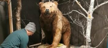 No er den historiske bjørnen endeleg komen heim: – Han såg litt prega ut etter alle åra