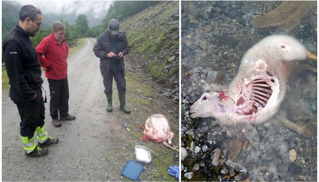 MAKTESLØYSE: Jerven streifar over fylkesgrensa og tek sauer. Bønder fortvilar over kjensla ein sit att med etter ein mistar dyr til jerv.